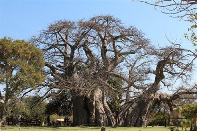 Bí mật tuyệt vời cất giấu bên trong cây đại thụ 6.000 năm tuổi - Ảnh 4.