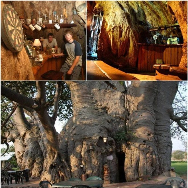 Bí mật tuyệt vời cất giấu bên trong cây đại thụ 6.000 năm tuổi - Ảnh 6.