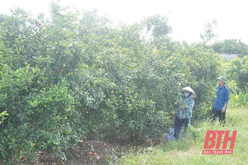 Mô hình trồng cây ăn quả của gia đình anh Nguyễn Xuân Sơn, ở xã Xuân Trường (Thọ Xuân) hàng năm cho thu nhập cao.