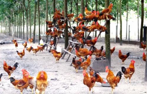 Đàn gà được bay nhảy, leo trèo trên những hệ thống giá gỗ như thế này, giúp chất lượng thịt ngon hơn. Ảnh: Hồng Thủy.