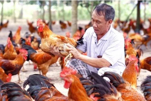 Ông Nguyễn Năng Lân, chủ trang trại gà khủng ở Tây Ninh. Ảnh: Hồng Thủy.