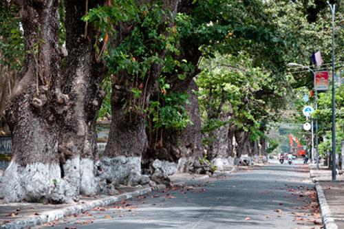 Những cây bàng cổ thụ ở Côn Đảo. (Ảnh: Báo Bà Rịa - Vũng Tàu)