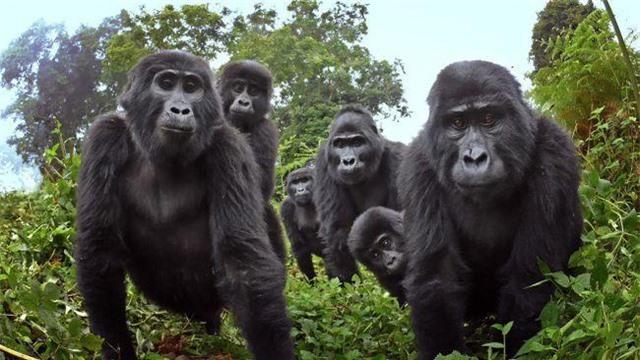 Lần đầu quay được cảnh khỉ đột biết… hát - 1