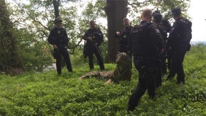 Mang quân số đông đảo đến vây bắt hổ dữ, lực lượng cảnh sát ngớ người khi phát hiện... đây là vật trưng bày - Ảnh 1.