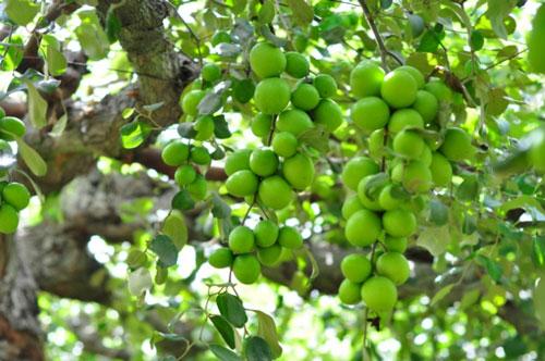 Hiện nay, các giải pháp về giống, kỹ thuật chăm sóc để nâng cao hiệu quả cây táo được ngành nông nghiệp và các cơ quan liên quan nghiên cứu thực hiện. Ảnh: Ngọc Thăng.