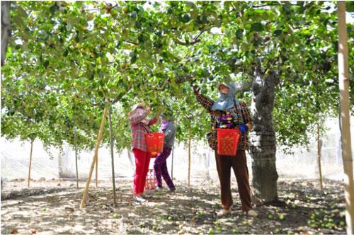 Cây táo cho thu nhập cao nên những năm gần đây, nhiều hộ dân chuyển đổi diện tích lúa và các loại cây trồng kém hiệu quả sang trồng táo. Ảnh: Ngọc Thăng.