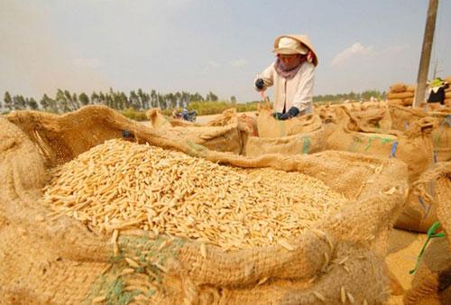 Giá lúa tăng nhẹ sau quyết định cho xuất khẩu gạo trở lại (Ảnh Internet)