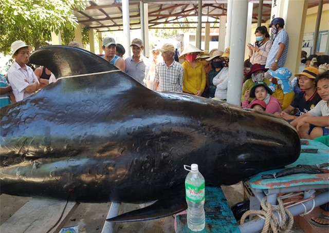 An táng cá voi dài 3,5m chết dạt vào bờ biển Nha Trang - 2