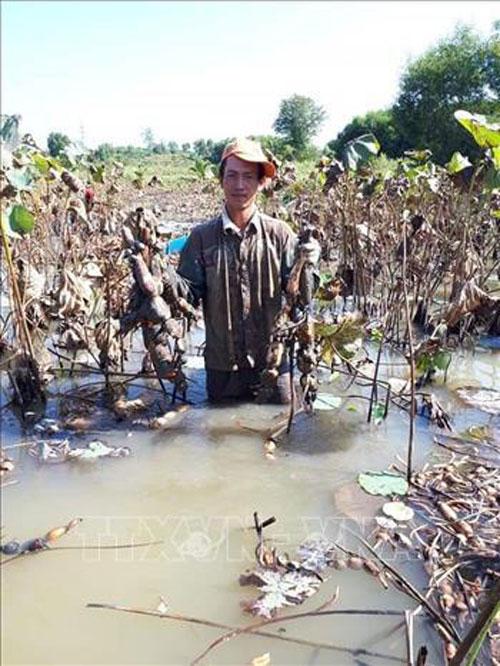 Thu hoạch củ sen của gia đình chị Nguyễn Thị Thanh Vân. Ảnh: Hoàng Nhị - TTXVN
