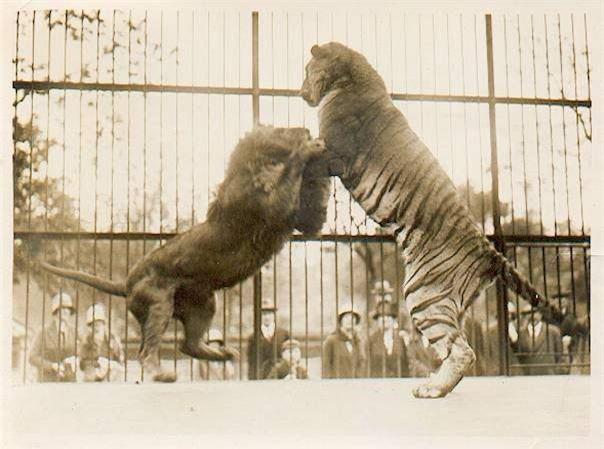 Hỏi cực khó: Hổ và sư tử đánh nhau, con nào sẽ thắng? - Ảnh 4.
