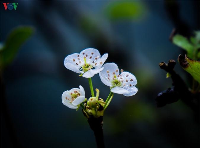 nhung mua hoa tren cao nguyen da ha giang hinh 12