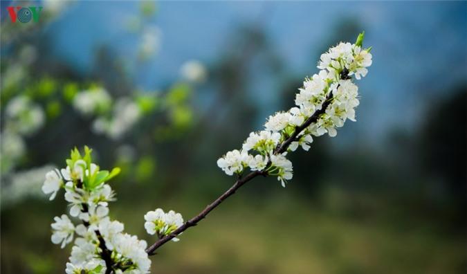 nhung mua hoa tren cao nguyen da ha giang hinh 6