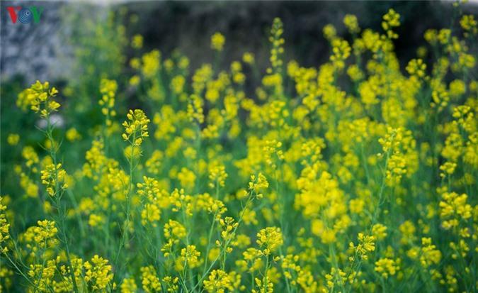 nhung mua hoa tren cao nguyen da ha giang hinh 9