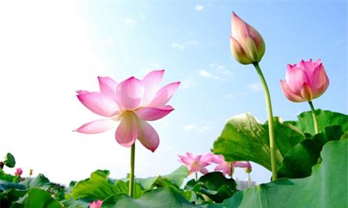 Vì sao hoa sen trở thành biểu tượng của nhà Phật? - Ảnh 3