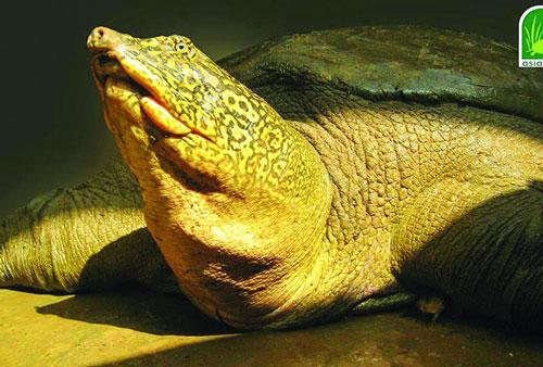 Cá thể rùa Hoàn Kiếm ở hồ Đồng Mô. Khối lượng của cá thể này được nhận định tăng nhanh trong 10 năm qua, từ 67kg lên 140 kg. Ảnh: ATP