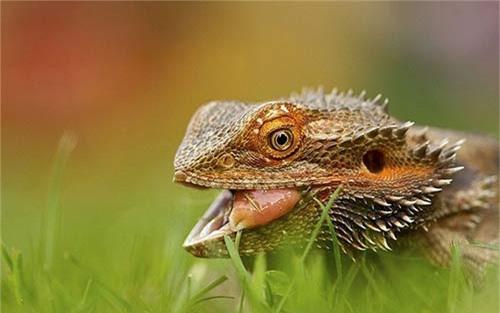 Ảnh động vật: Cá sấu nuốt sống ngựa vằn - 5
