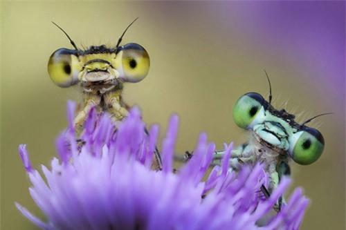 Ảnh động vật: Chuồn chuồn kim trên bông hoa dại - 12