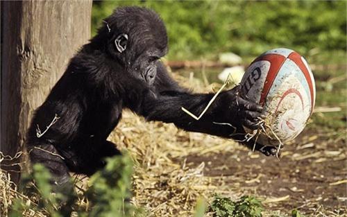 Ảnh động vật: Đười ươi tâng bóng hình bầu dục - 4