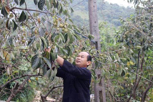 Anh Vương Trung Hùng, thôn Phín Ủng, xã Nghĩa Thuận (Quản Bạ) kiểm tra vườn Hồng không hạt.