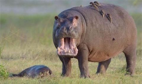 Hà mã là một trong những sinh vật hung hăng nhất trên thế giới và thường được xem như một trong những động vật nguy hiểm nhất ở châu Phi cũng như trên thế giới. Không một loài thú hoang dã nào ở Châu Phi giết người nhiều như những con hà mã