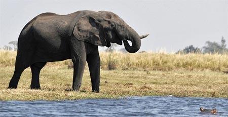 Con voi hiên ngang đứng trên phần đất liền nhô ra sông, trong khi con hà mã từ dưới nước đang ngoi lên và tiến lại gần.
