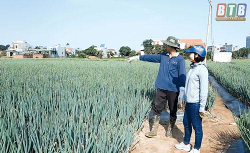 Tổng diện tích trồng hành của anh Tuấn là hơn 3,3 mẫu.