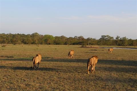 Bầy sư tử tiến tới uống nước trên cánh đồng