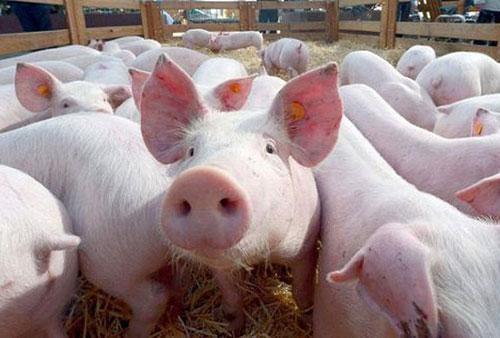 Năm 2020, các doanh nghiệp đăng ký nhập khẩu 12.000 con lợn giống cụ kỵ, ông bà (Ảnh: Internet)