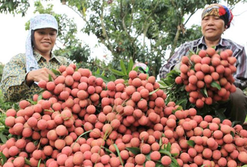 Năm 2020, tỉnh Bắc Giang có trên 28.000 ha vải, sản lượng ước đạt trên 160.000 tấn (Ảnh: Internet)