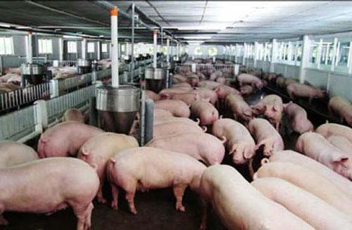 Giá lợn hơi được yêu cầu sớm giảm về mức khoảng 60.000 đồng/kg (Ảnh: Internet)