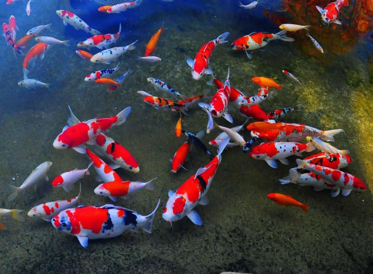Phong thủy nuôi cá hút tài lộc
