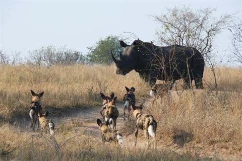 Đàn chó hoang theo mẹ tập đi săn thì bị báo đốm phục kích