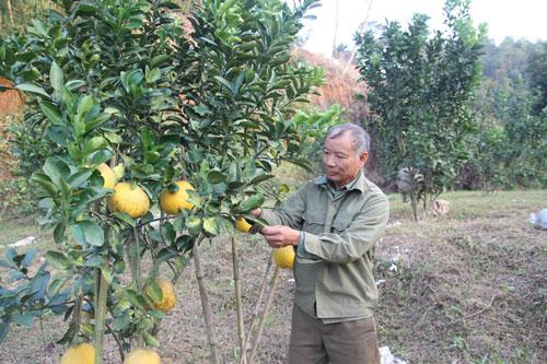 Ông Quang đang chăm sóc những cây bưởi chuẩn bị xuất bán