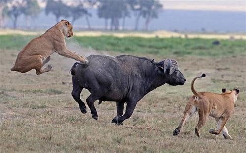 Ảnh đẹp: Trâu rừng dũng mãnh đá bay sư tử - 1
