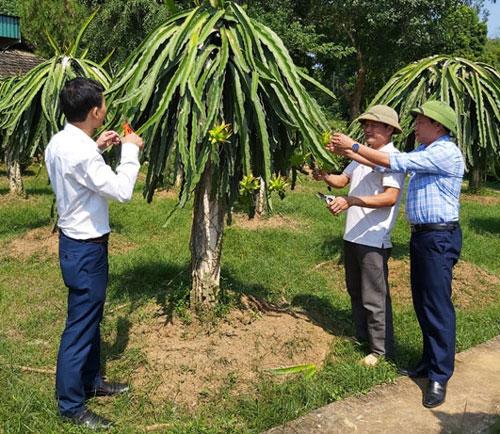 Mô hình trồng thanh long của gia đình ông Bùi Văn Nhưng, xã Vũ Bình (Lạc Sơn).
