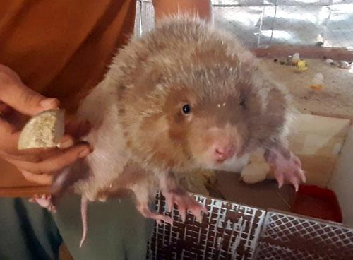 Anh Quang cầm trên tay con dúi  nặng hơn 2 kg chỉ sau hơn 8 tháng nuôi. Ảnh: Trần Trung.