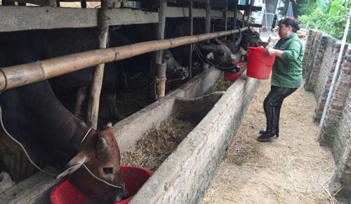 Chị Nguyễn Thị Tiên lấy thức ăn cho đàn trâu, bò. Ảnh: Kông Hải.