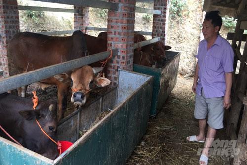 Anh Trương Lý Nguyện, chồng chị Tiên thường xuyên kiểm tra sức khỏe đàn trâu, bò. Ảnh: Kông Hải.