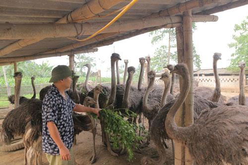 Mô hình nuôi đà điểu của gia đình anh Phan Sỹ Hải, xóm Mỵ, xã Yên Mông (TP Hòa Bình) đem lại hiệu quả kinh tế cao.