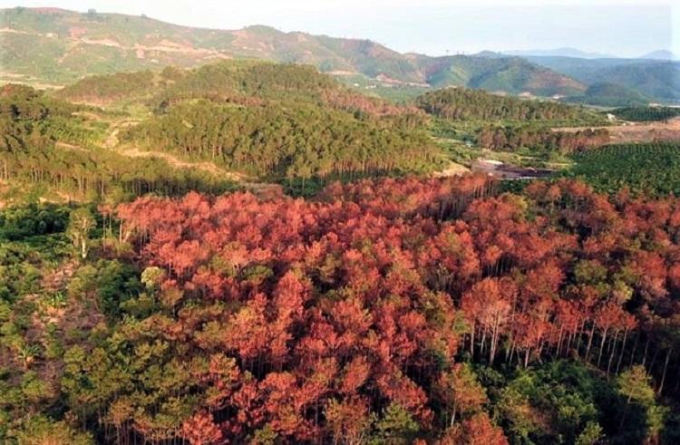 Diện tích lớn rừng thông thuộc lâm phần của Ban quản lý rừng nguyên liệu giấy Lâm Hà, thuộc Xí nghiệp nguyên liệu giấy Lâm Đồng (Công ty Cổ phần Tập đoàn Tân Mai), bị phá năm 2019 (Ảnh: NNVN)