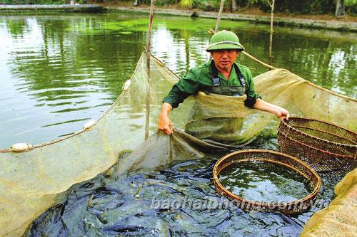 Ông Lương Văn Thăng thu hoạch từ 1- 2 vạn cá giống mỗi ngày.