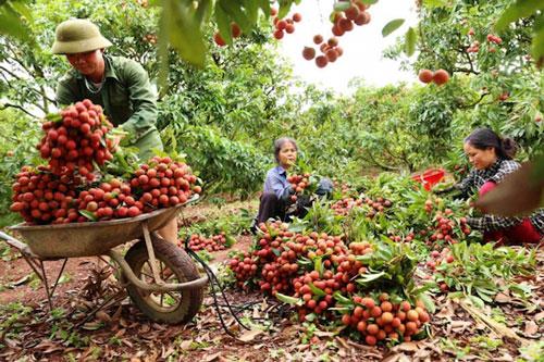 Nông dân trồng vải của Việt Nam rất mong chờ quả vải được xuất khẩu sang Nhật Bản (Ảnh: Internet)