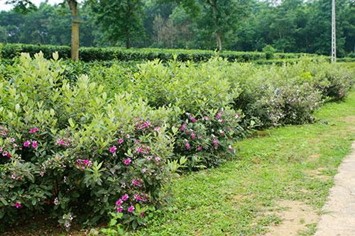 Đến nay, trên địa bàn thôn Tây Trà đã trồng được khoảng 2km đường hàng rào xanh hoa sim...