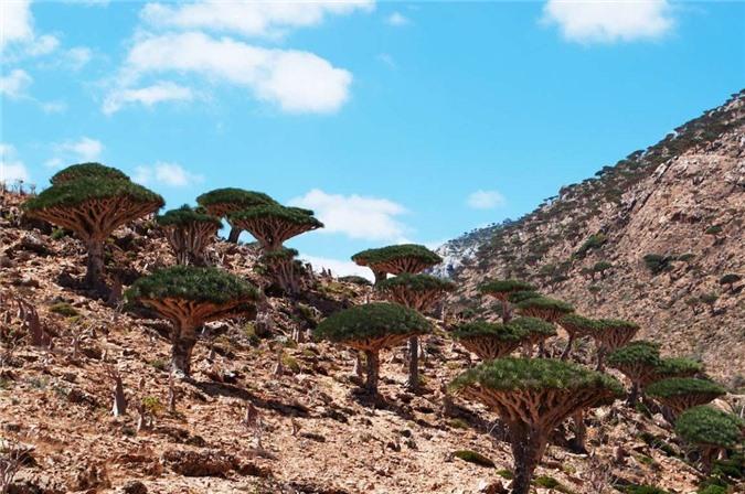 """Rừng Dragon's Blood (Yemen): Với thảm thực vật kỳ lạ, khu rừng """"máu rồng"""" này thu hút nhiều du khách đến khám phá. Ở đây, nhựa của cây có màu đỏ như máu, hơi chua và nồng. Đó cũng là lý do người ta gọi chúng là cây máu rồng."""