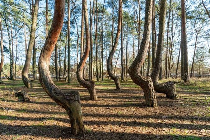 """Rừng Krzywy Las (Ba Lan) còn được gọi là """"khu rừng uốn cong"""" bởi thảm thực vật nghiêng có một không hai. Krzywy Las có khoảng 400 cây thông với cách mọc khá kỳ lạ. Thân của chúng vừa trồi khỏi mặt đất liền bị uốn cong thành hình chữ C rồi mới tiếp tục vươn thẳng lên trời."""