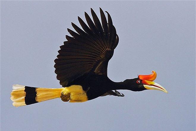 Phượng hoàng đất - loài chim đẹp như mơ bay lạc vào vườn của chàng trai trẻ - Ảnh 3.