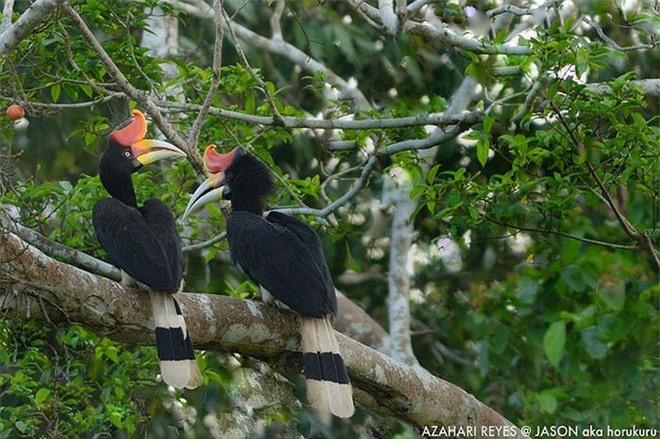 Phượng hoàng đất - loài chim đẹp như mơ bay lạc vào vườn của chàng trai trẻ - Ảnh 5.