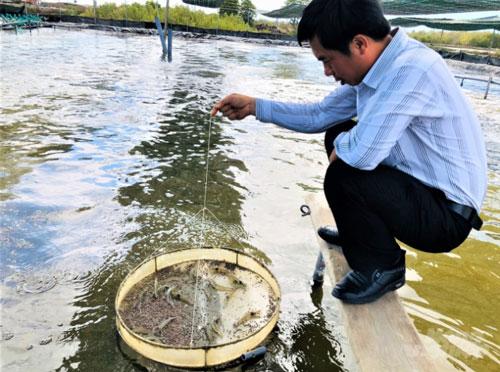 Cán bộ Chi cục Thủy sản tỉnh thường xuyên xuống kiểm tra, hỗ trợ kỹ thuật cho các hộ nuôi tôm. Ảnh: MS