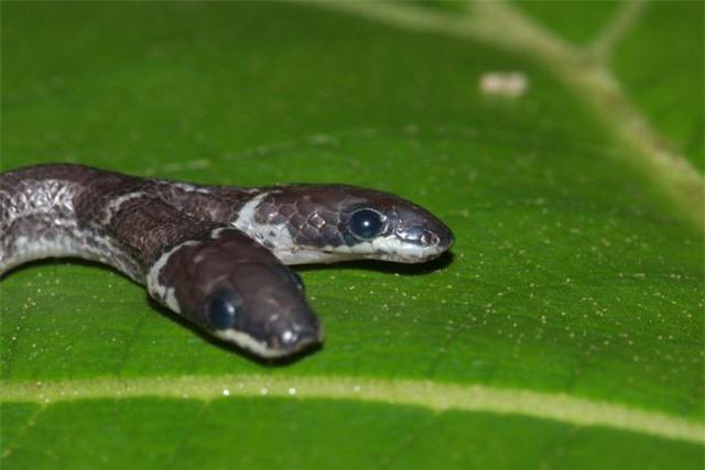Phát hiện rắn hai đầu trong rừng rậm ở Ấn Độ - 1