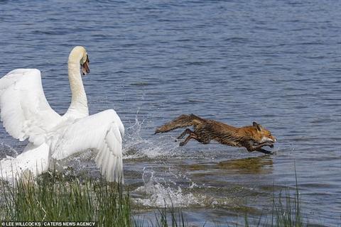 Một con cáo mò mẫm vào gần tổ thiên nga thì bị phát hiện